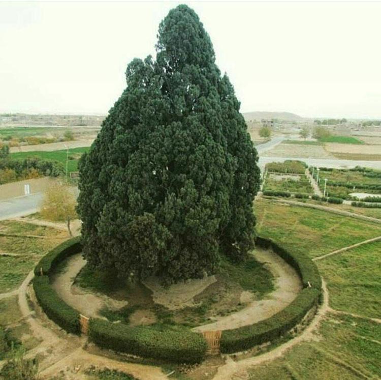 Abarkooh Cypress