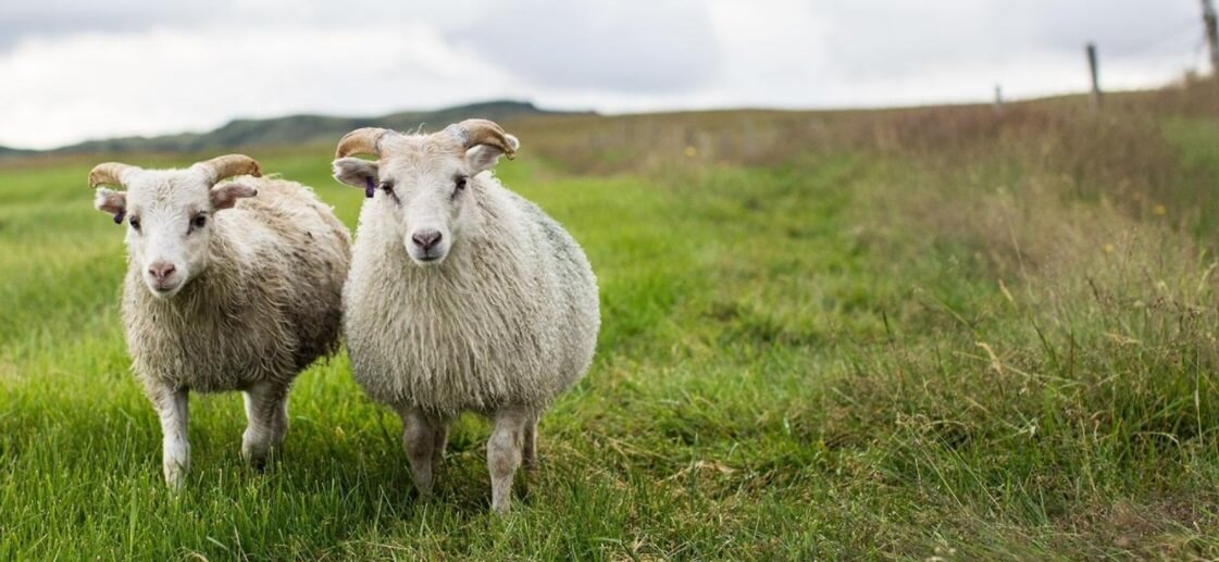 The Icelandic model who shears sheep