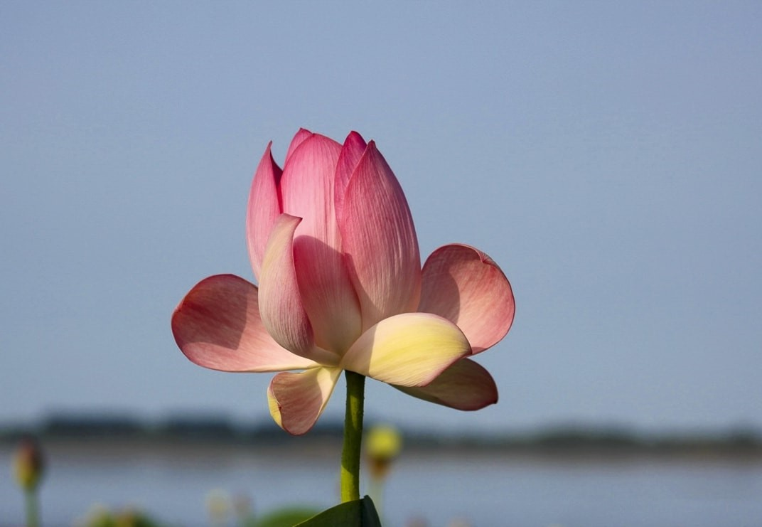 Anzali lagoon lotus - Lakes in Iran
