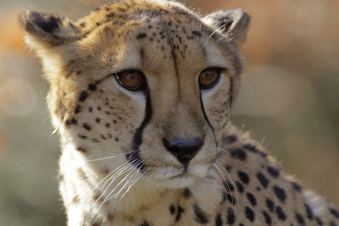 under 50 Asiatic Cheetah left in the world