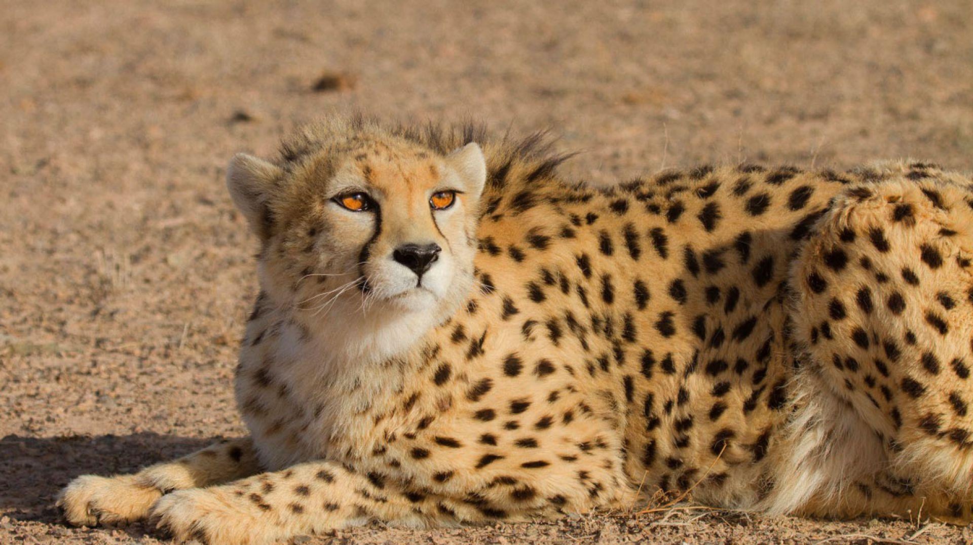 Asiatic Cheetah - Iran