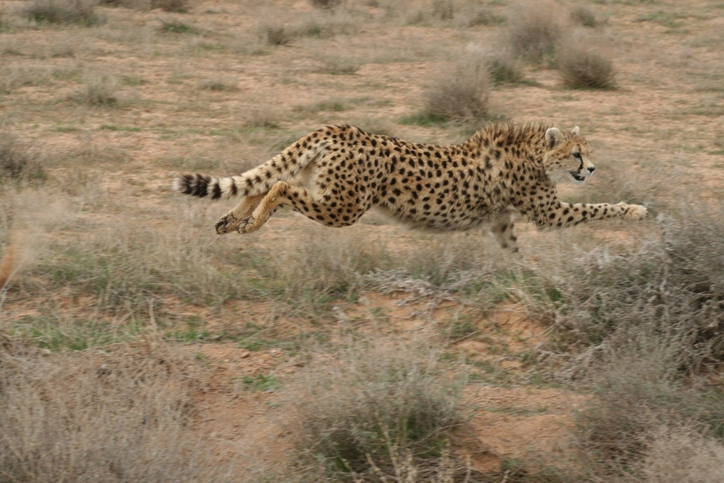 Asiatic Cheetah- The fastest animal in the world