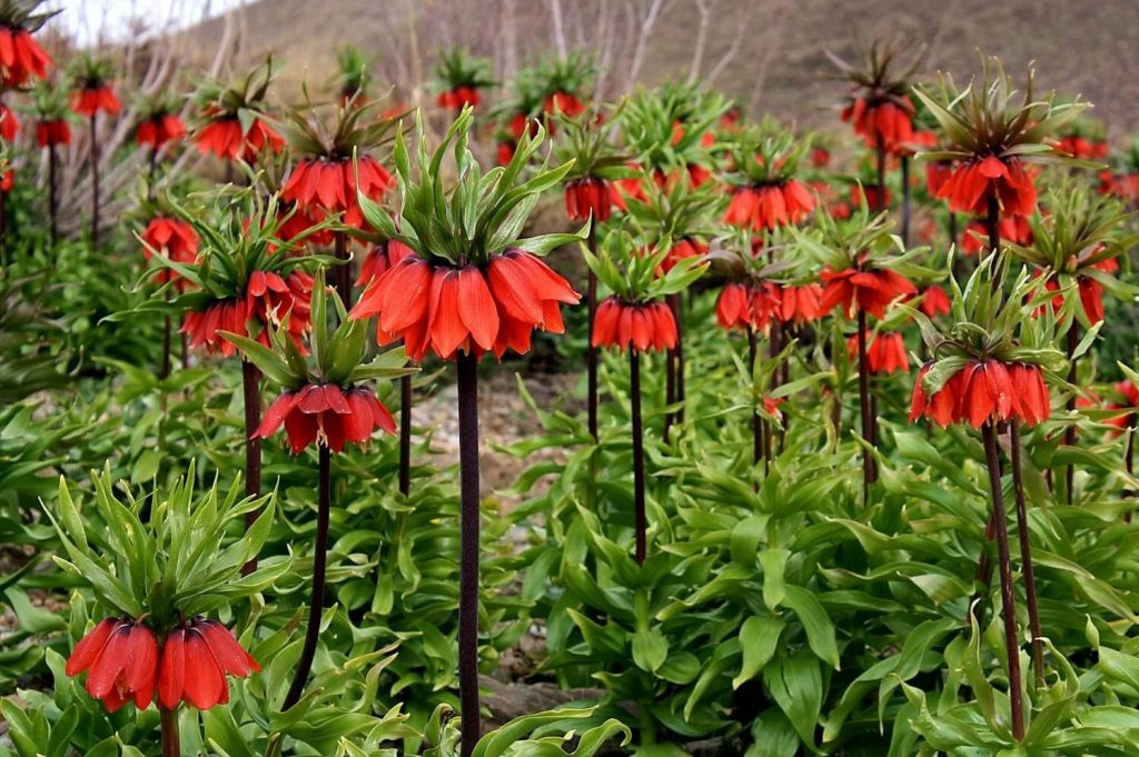 Crown imperial flowers in iran during spring