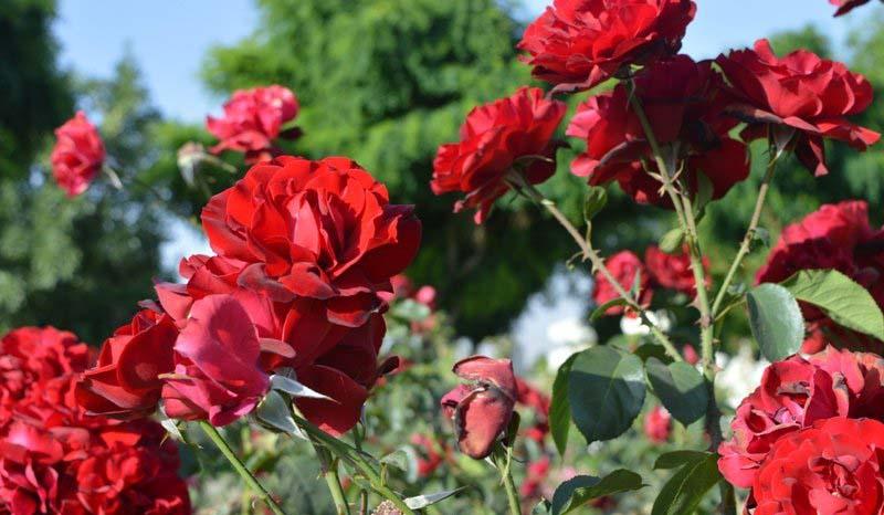 Shiraz Roses