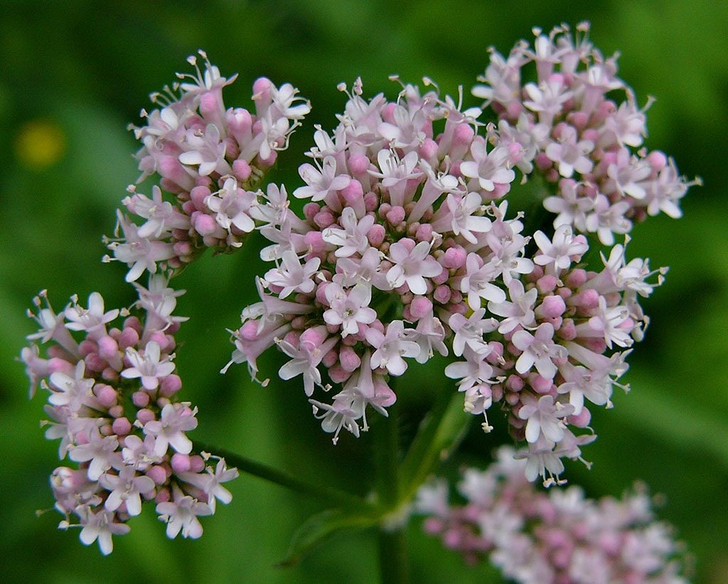 Sonbolotib - Persian herbal medicine