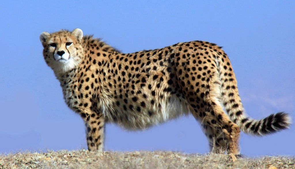 Wildlife in Iran, Persian Cheetah