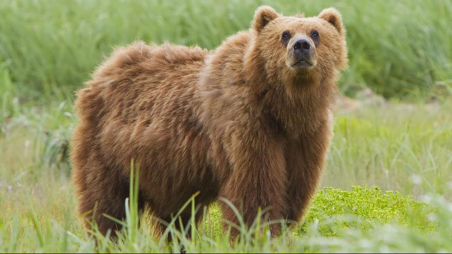 Wildlife in Iran, Persian Brown Bear