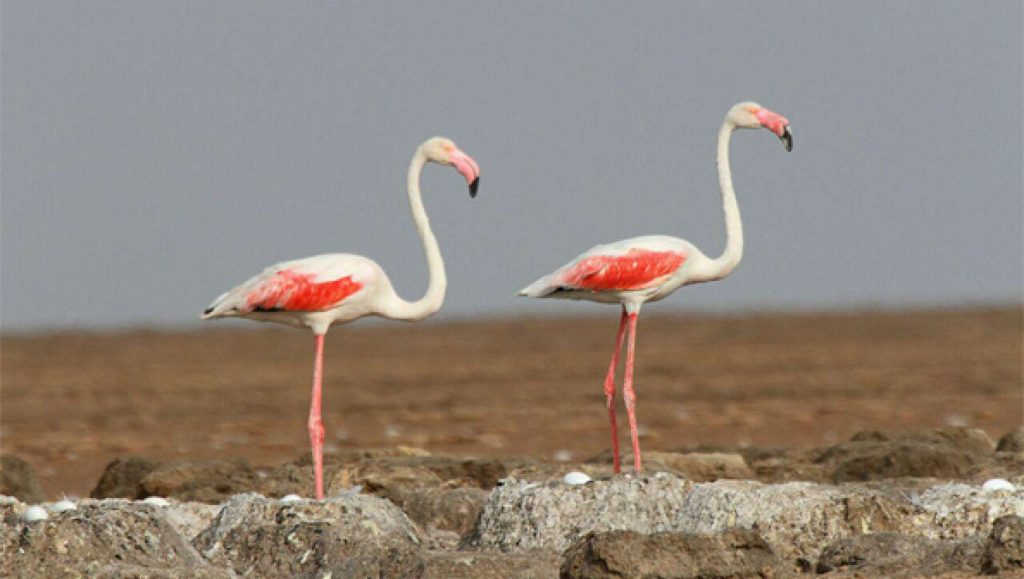 Wildlife in Iran, Pink Flamingo